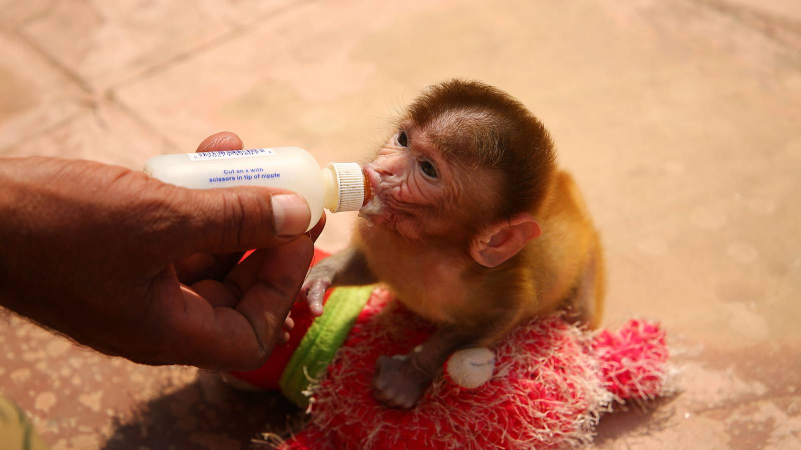 Rescued baby Rhesus Macaque