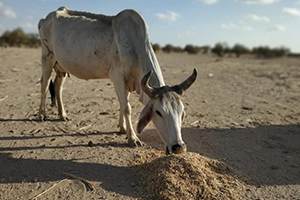 FEED 7000 Cattle, Indian BSF Rescued from smuggling to Bangladesh- APPEAL for DONATION & HELP