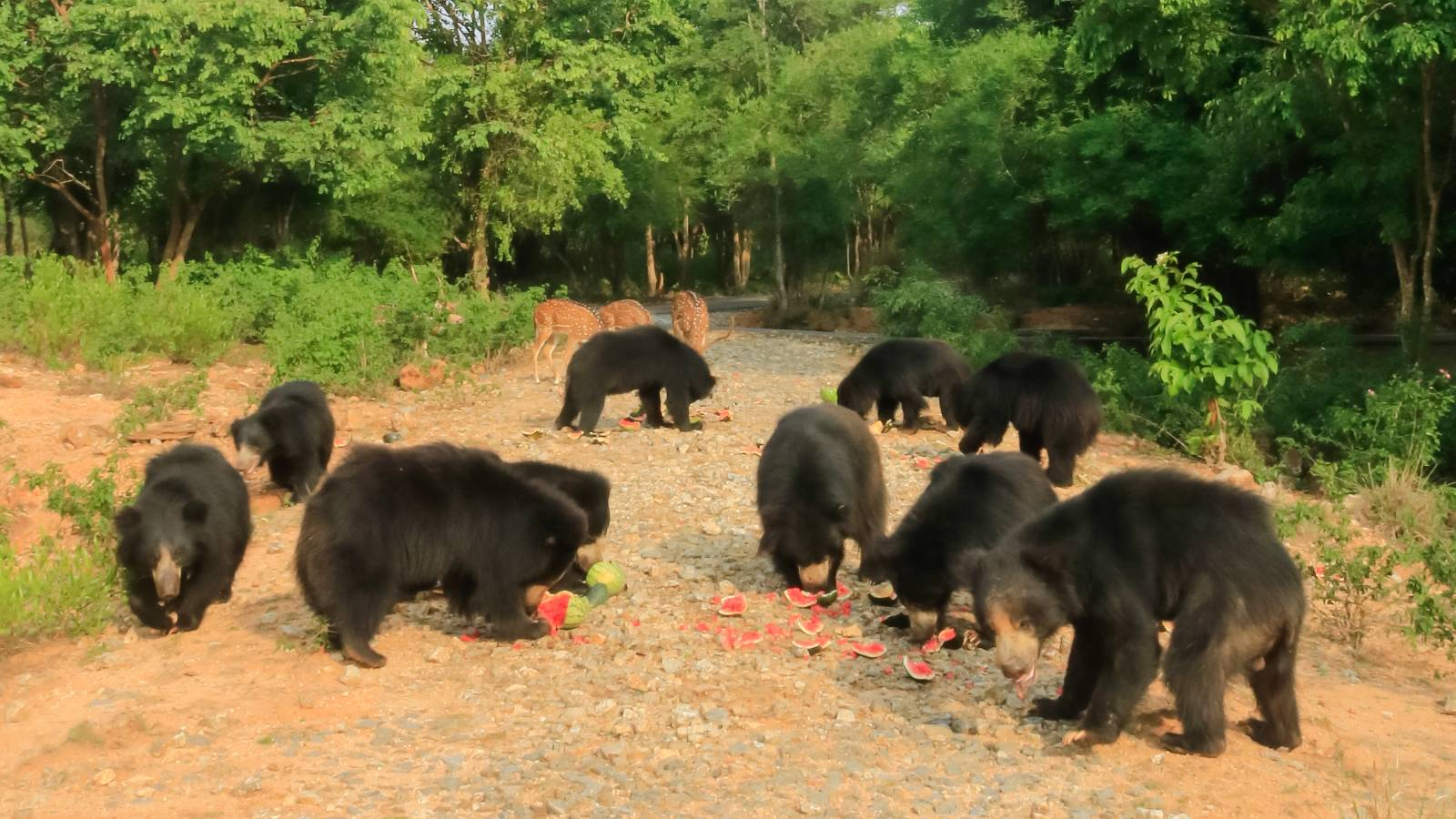 Sloth bears rescued from the dancing bear practice - evening feeding time