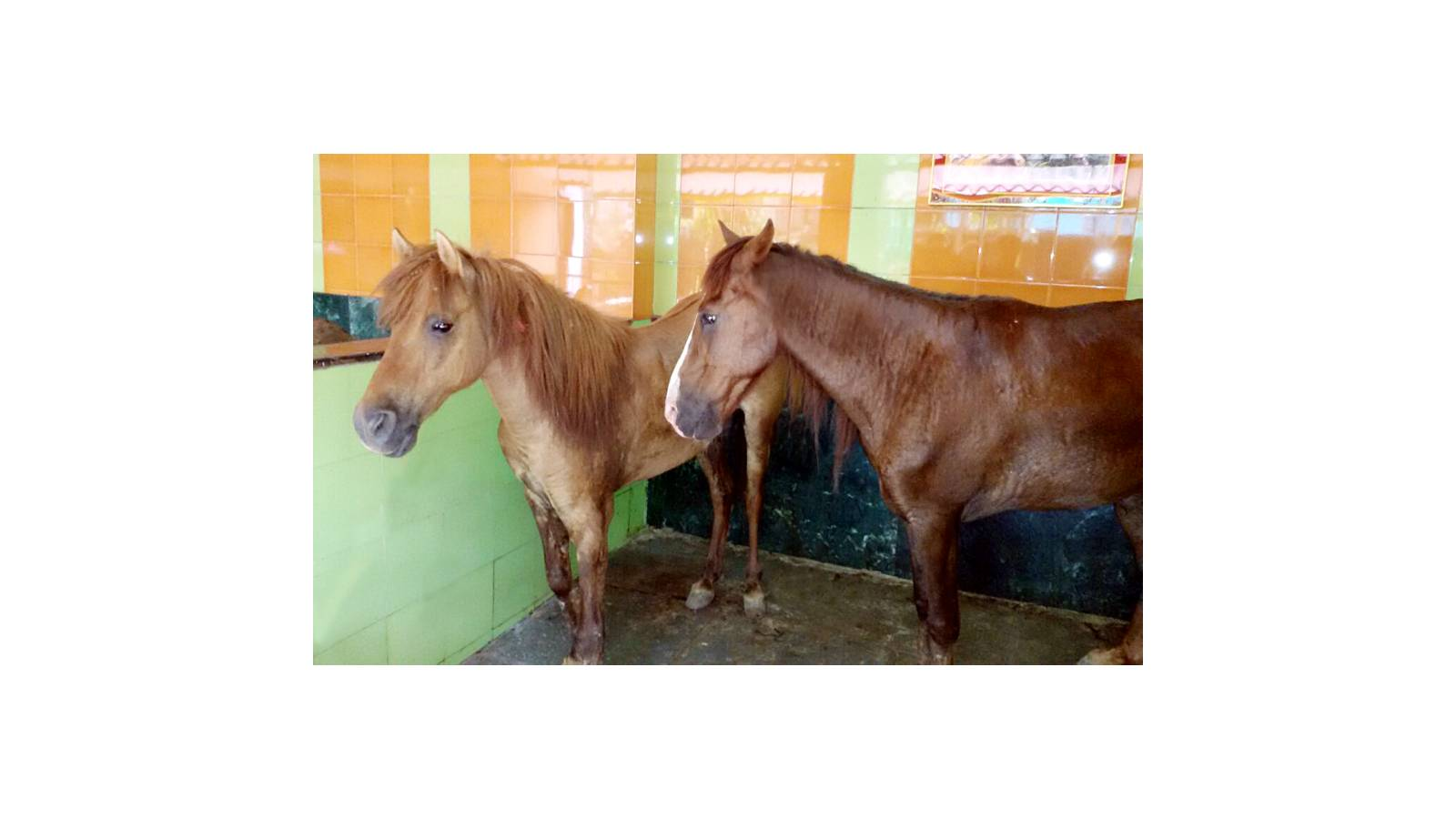 Rescued Horses from Palghar