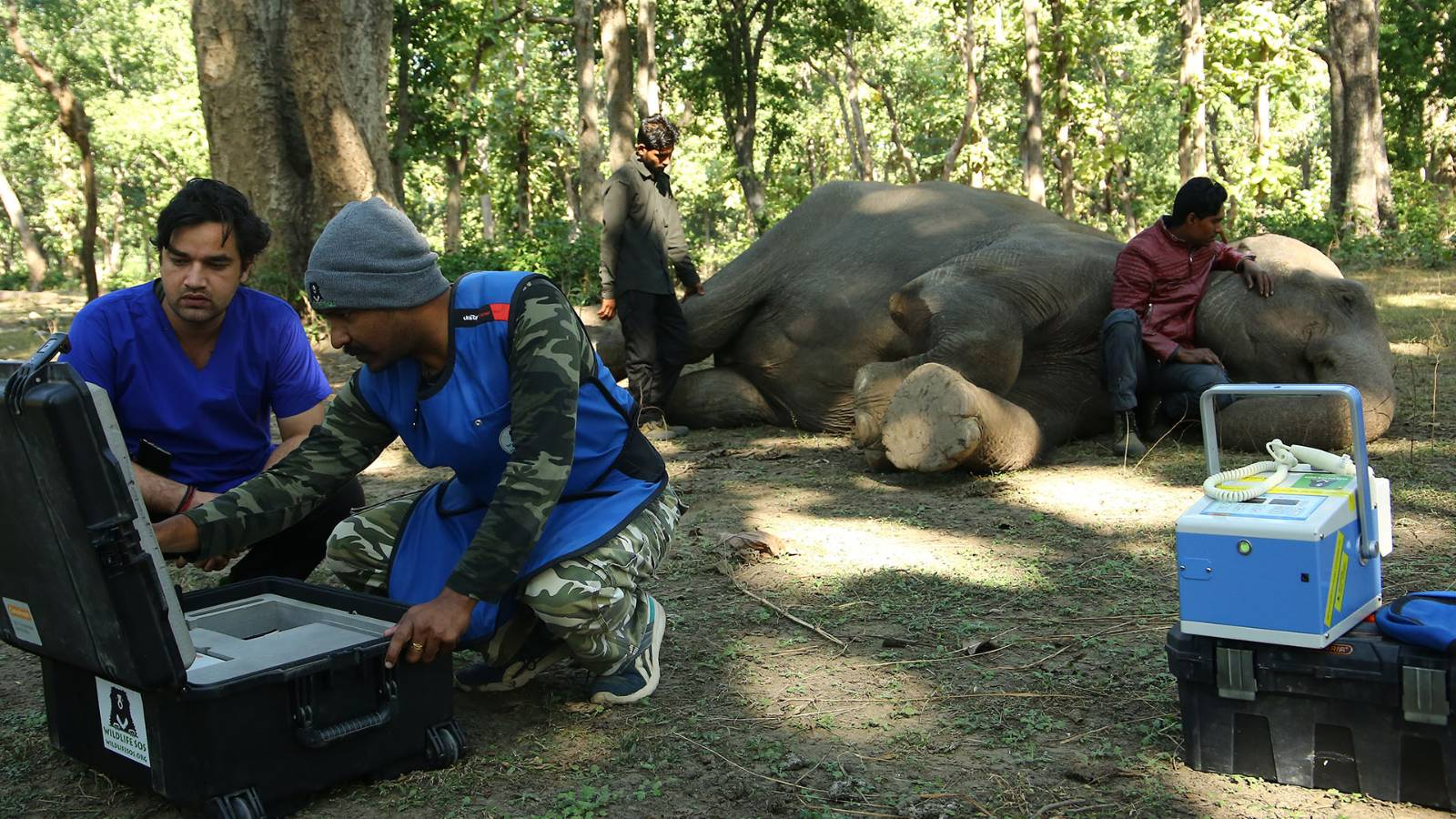 Off site treatment by WSOS team to treat wild elephant
