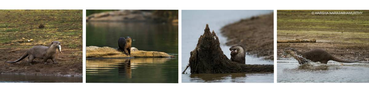 'Otterly Elusive': Examining the Impact of Human Activities and Interactions on Otters in Shared Landscapes