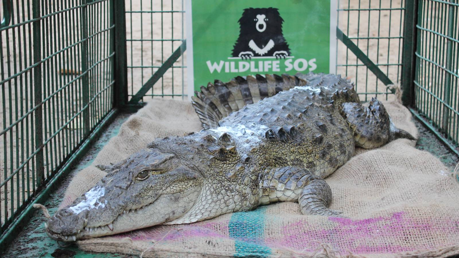 Rescued mugger crocodile which had entered a village. It was later released back into the wild