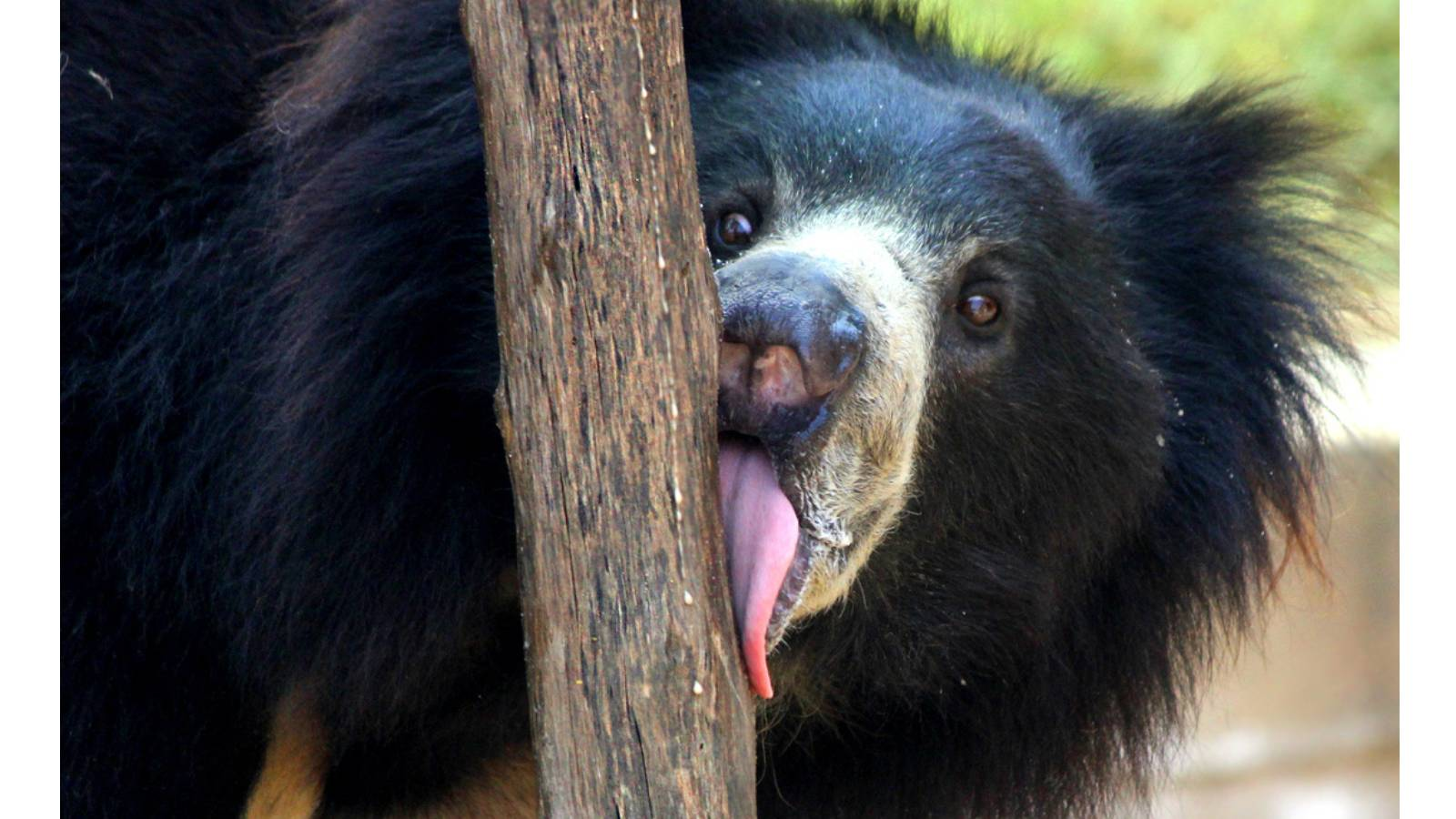 Rescued Sloth bear