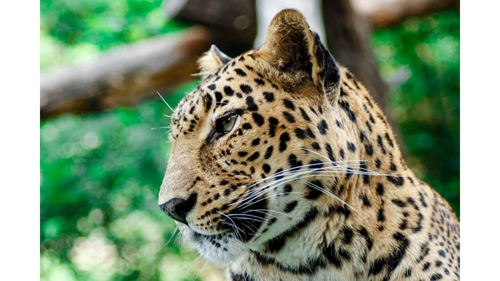 Rescued leopard - Jiya