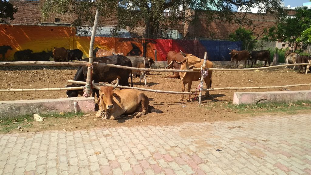 ISKCON Prayagraj: These Cows Need Shelter and Hygienic Care
