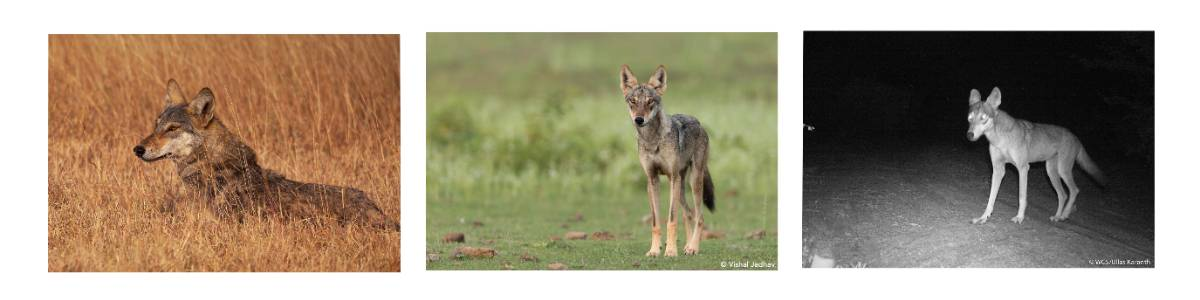 Where-wolf? Estimating population sizes and densities of wolf packs in the Deccan grasslands