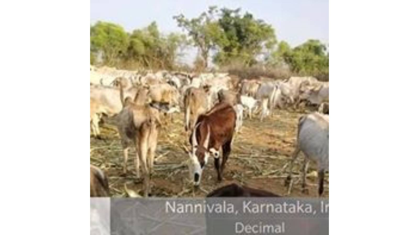 helping in cattle in drought